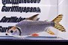 他の写真3: カラープロキロダス(XXL)