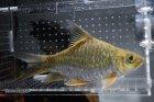 他の写真1: ゴールデンマハシール・ショートボディ
